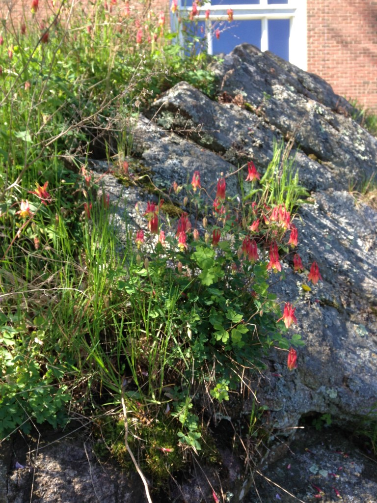 May 2016 Wild Columbine near the native plant garden